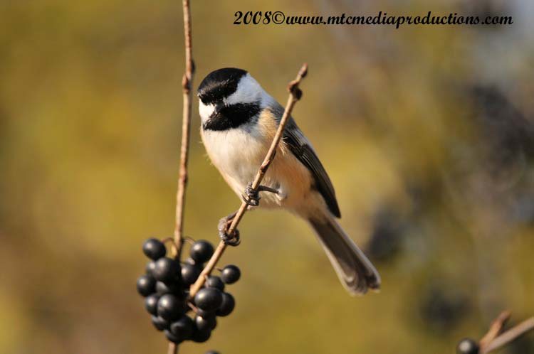 Chickadee Picture-103