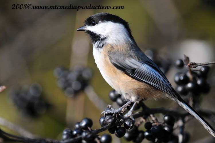 Chickadee Picture-104