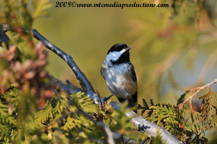 Chickadee Picture-105