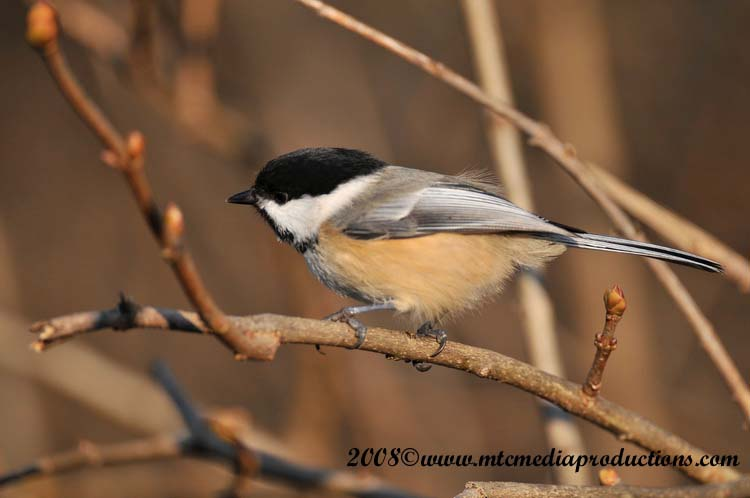 Chickadee Picture-106