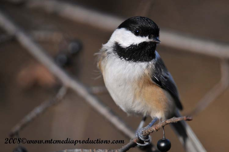 Chickadee Picture-107
