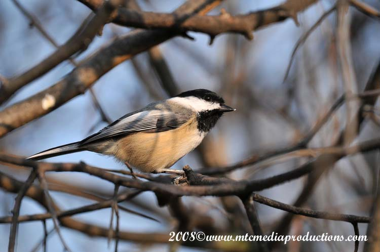 Chickadee Picture-108