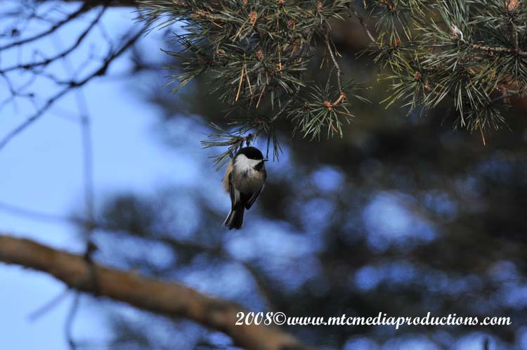 Chickadee Picture-109