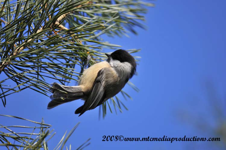 Chickadee Picture-110