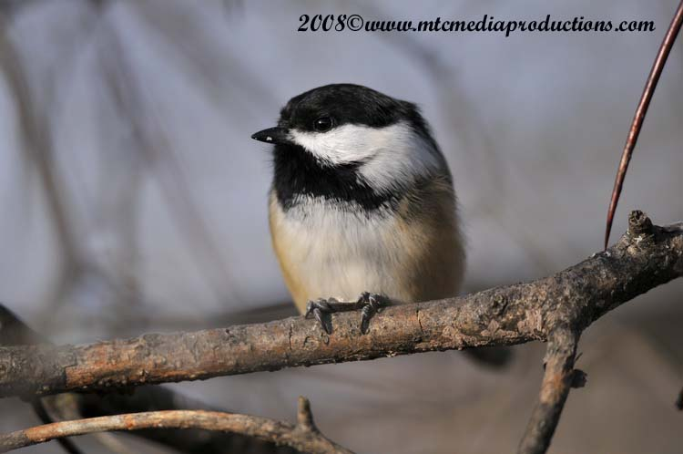 Chickadee Picture-112