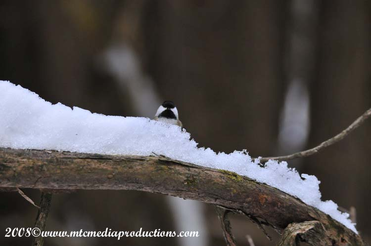 Chickadee Picture-113
