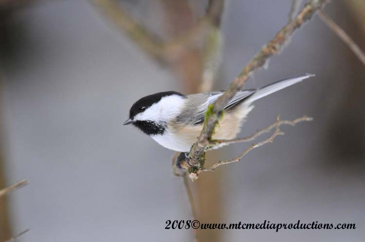 Chickadee Picture-114