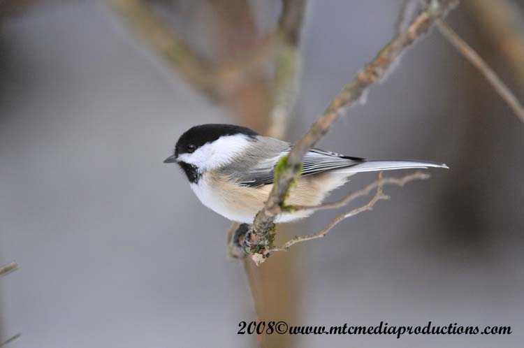 Chickadee Picture-115