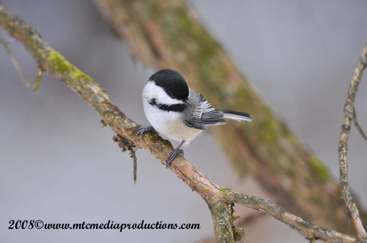 Chickadee Picture-116
