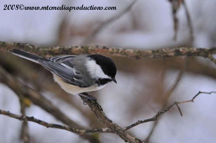 Chickadee Picture-117