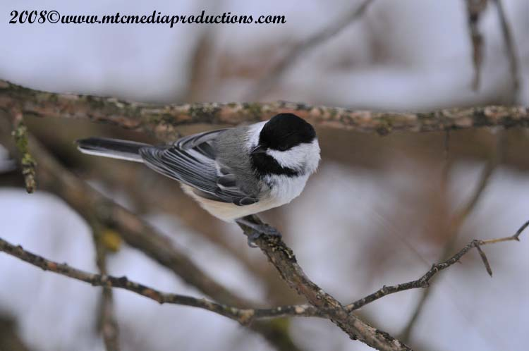 Chickadee Picture-118