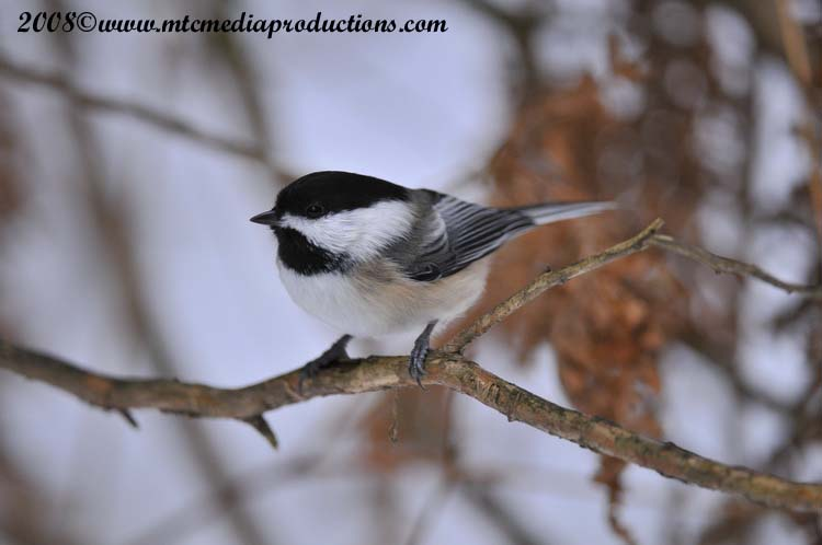 Chickadee Picture-119