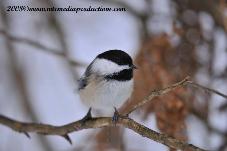 Chickadee Picture-120