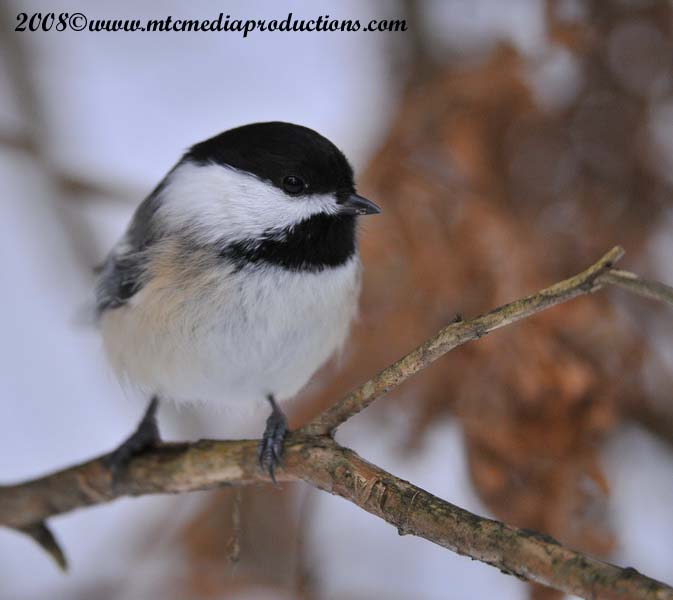 Chickadee Picture-121