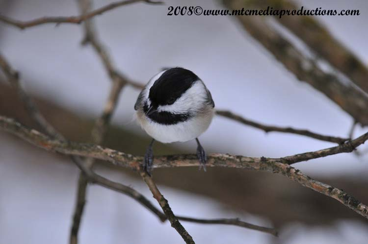 Chickadee Picture-122