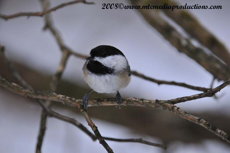 Chickadee Picture-123