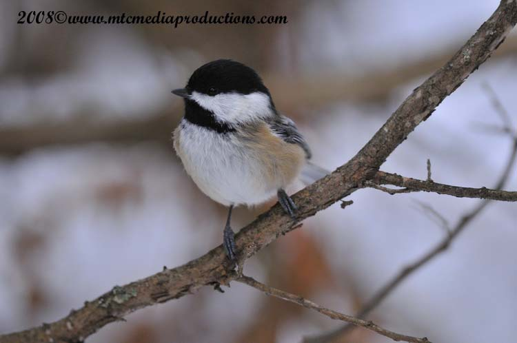 Chickadee Picture-124