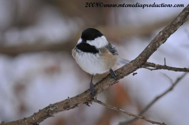 Chickadee Picture-125