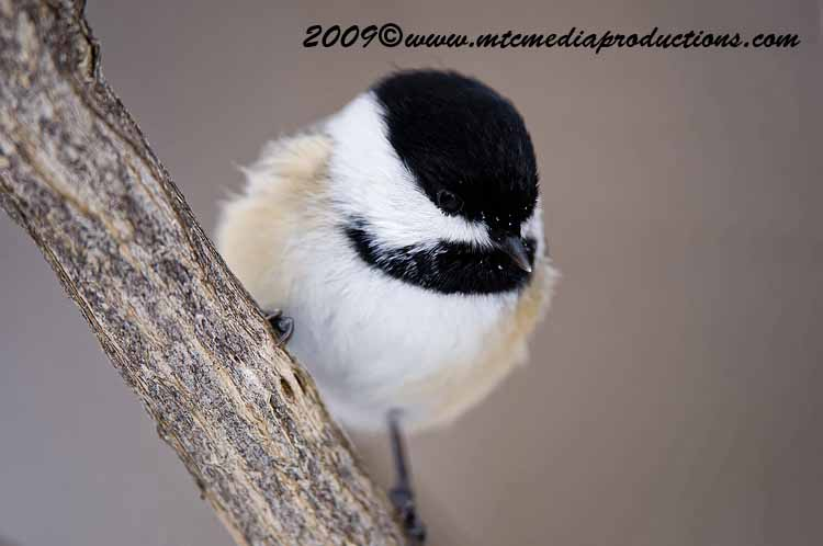 Chickadee Picture-126