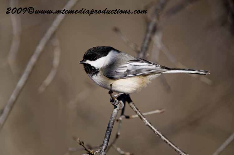 Chickadee Picture-127