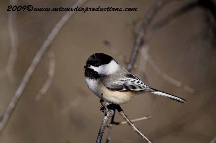 Chickadee Picture-128