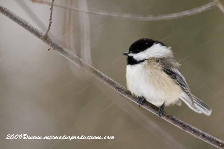 Chickadee Picture-129