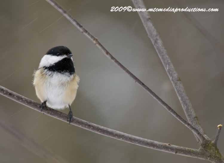 Chickadee Picture-130