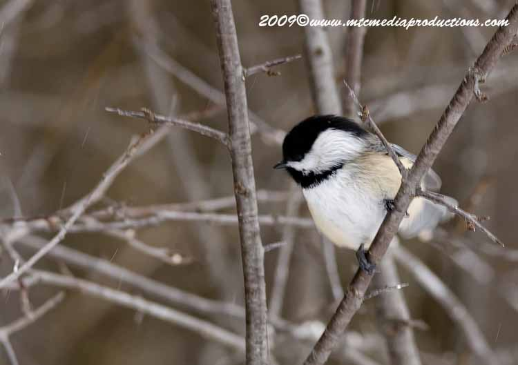Chickadee Picture-131