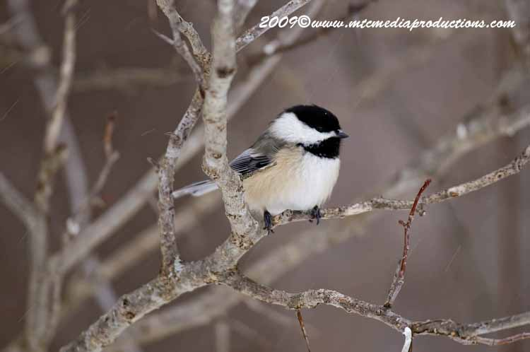 Chickadee Picture-132
