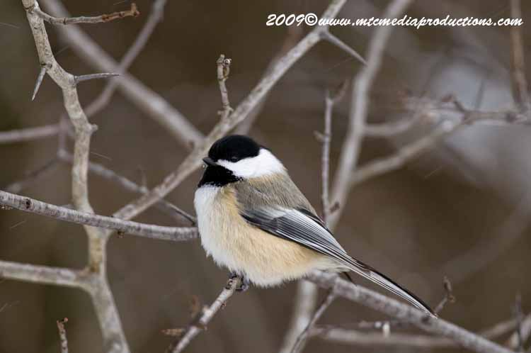 Chickadee Picture-133