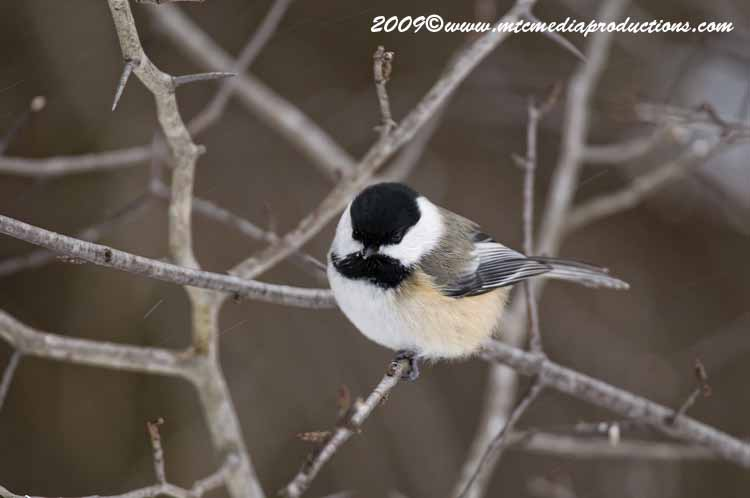 Chickadee Picture-134