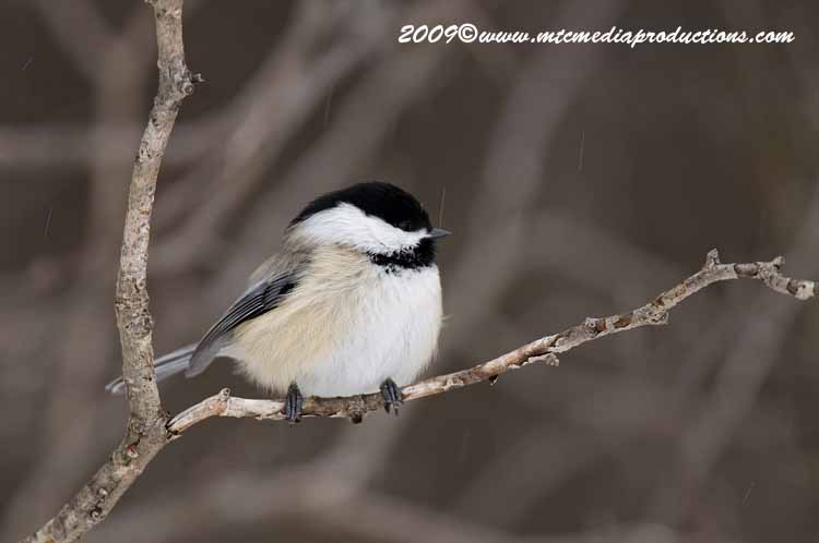 Chickadee Picture-135