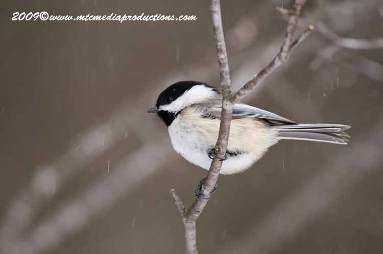Chickadee Picture-136