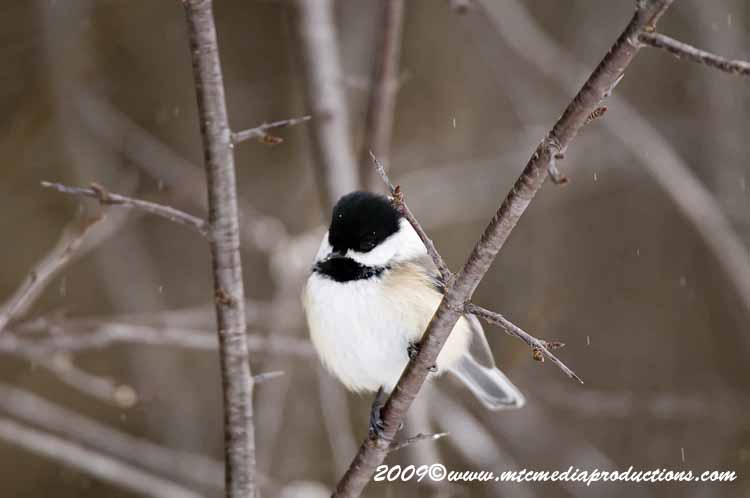Chickadee Picture-137