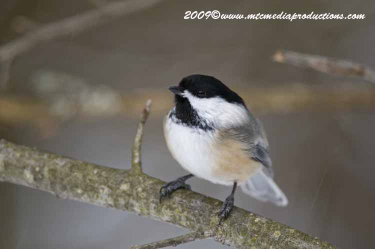 Chickadee Picture-139