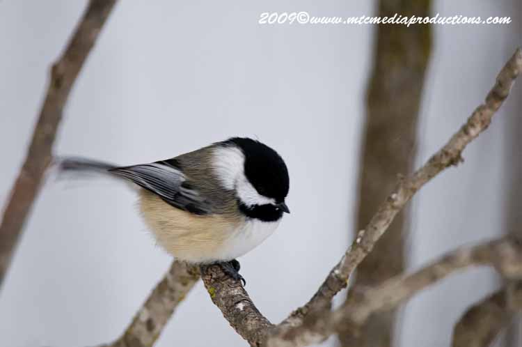 Chickadee Picture-140