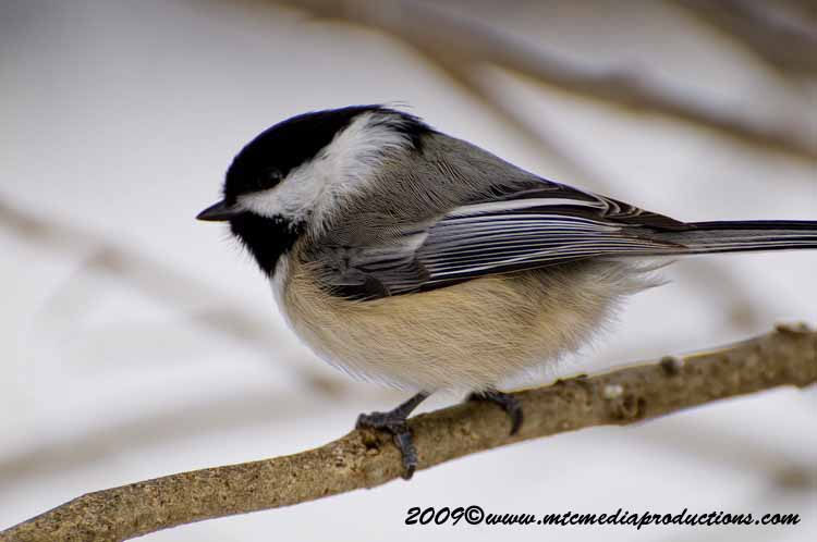 Chickadee Picture-141