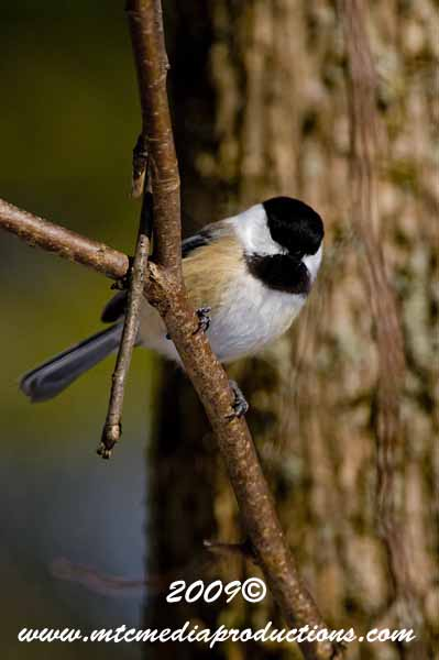 Chickadee Picture-143