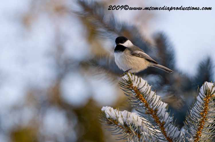 Chickadee Picture-145