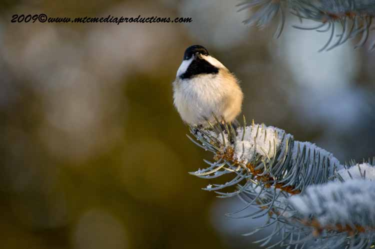 Chickadee Picture-146