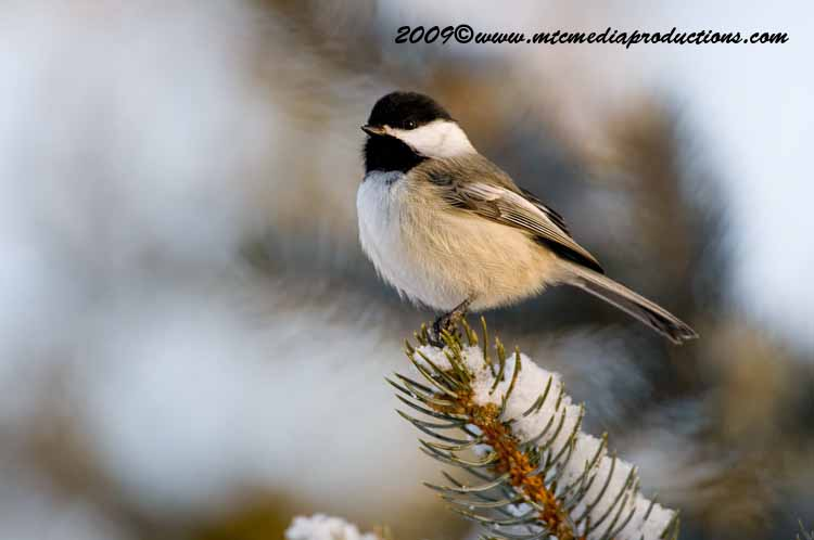 Chickadee Picture-147