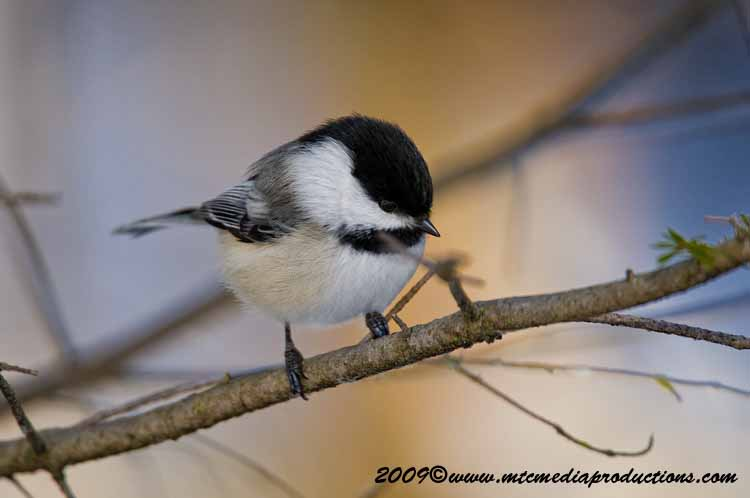Chickadee Picture-148