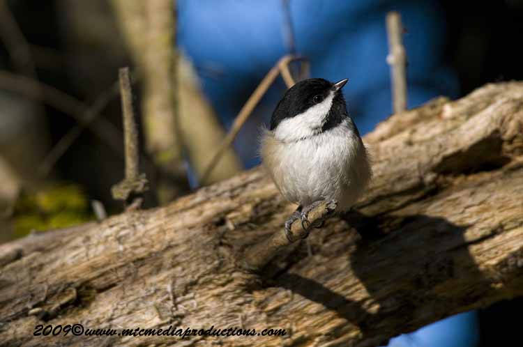 Chickadee Picture-149
