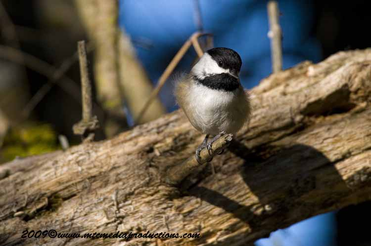 Chickadee Picture-150
