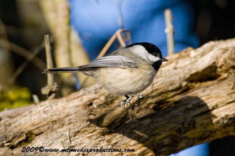 Chickadee Picture-151