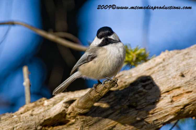 Chickadee Picture-152