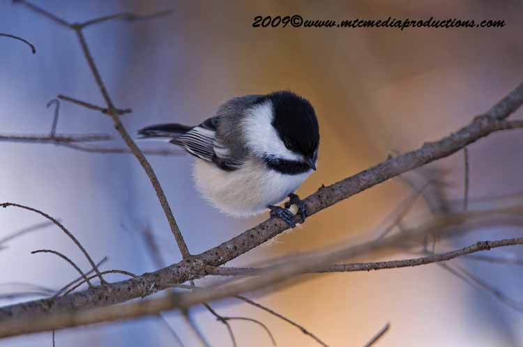 Chickadee Picture-153