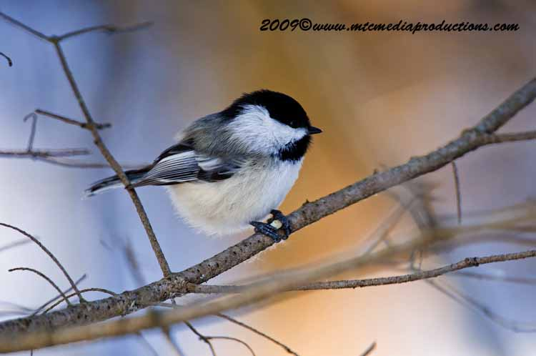 Chickadee Picture-154