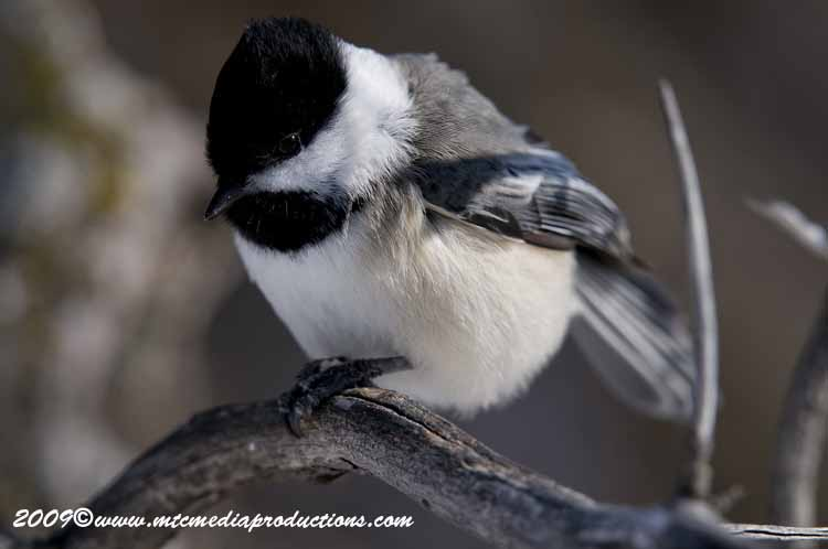 Chickadee Picture-155