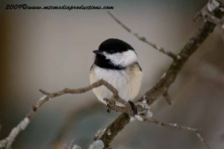 Chickadee Picture-156